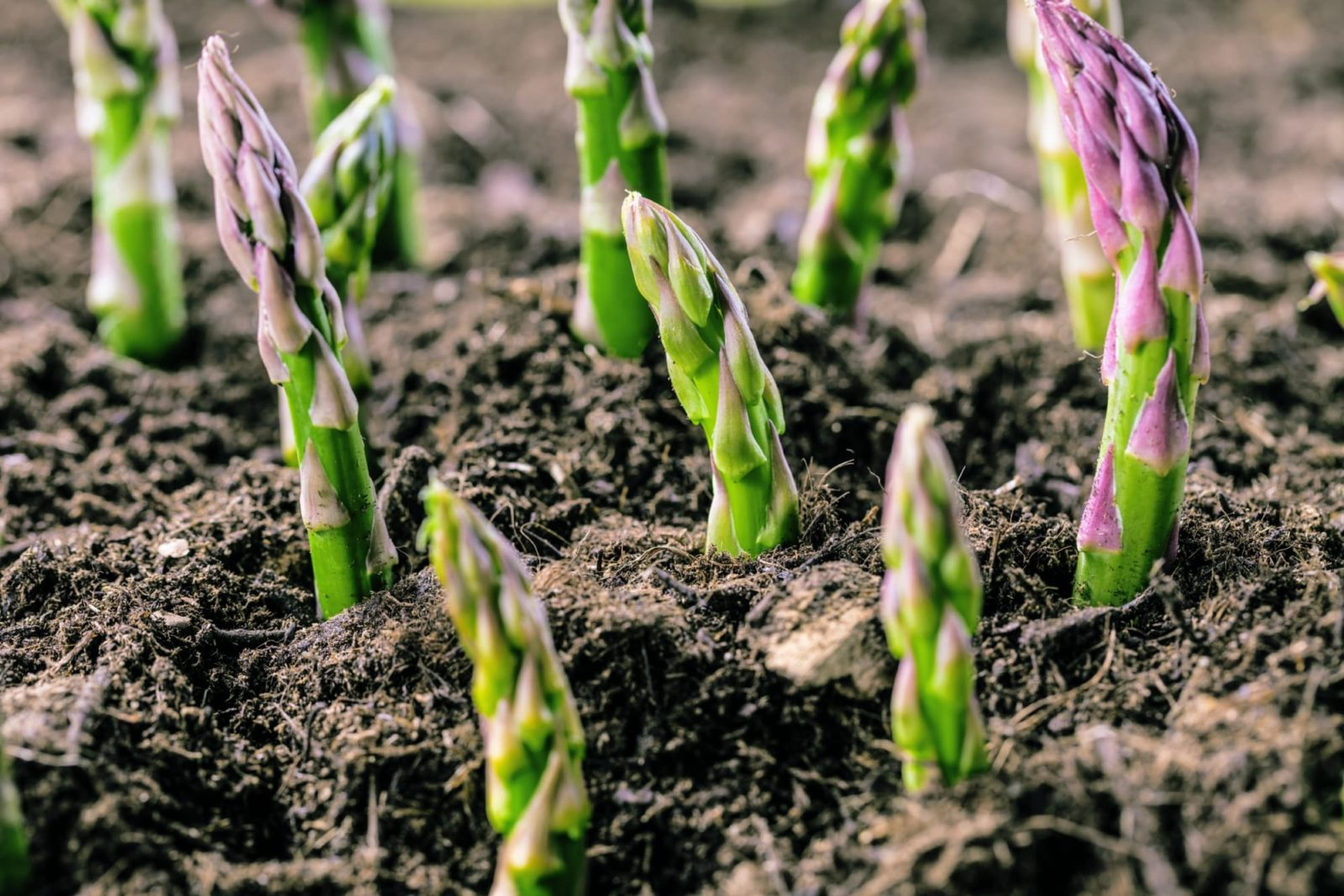 organic asparagus growing out of soil