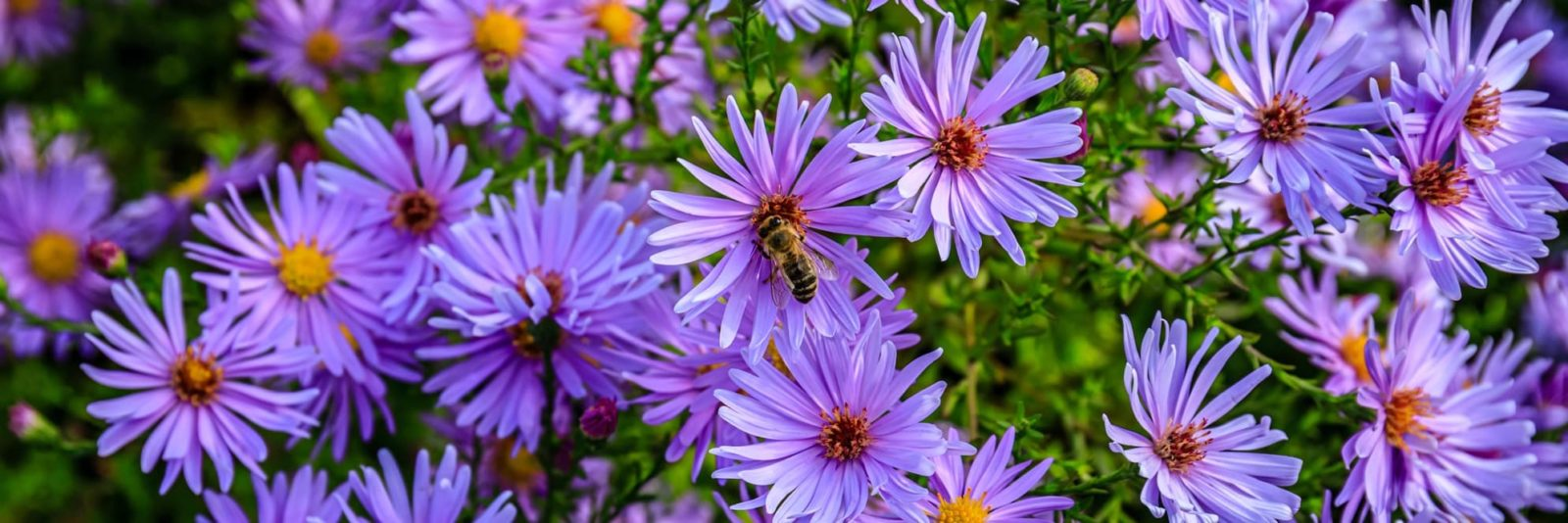 purple and yellow asters flowers with pollinators
