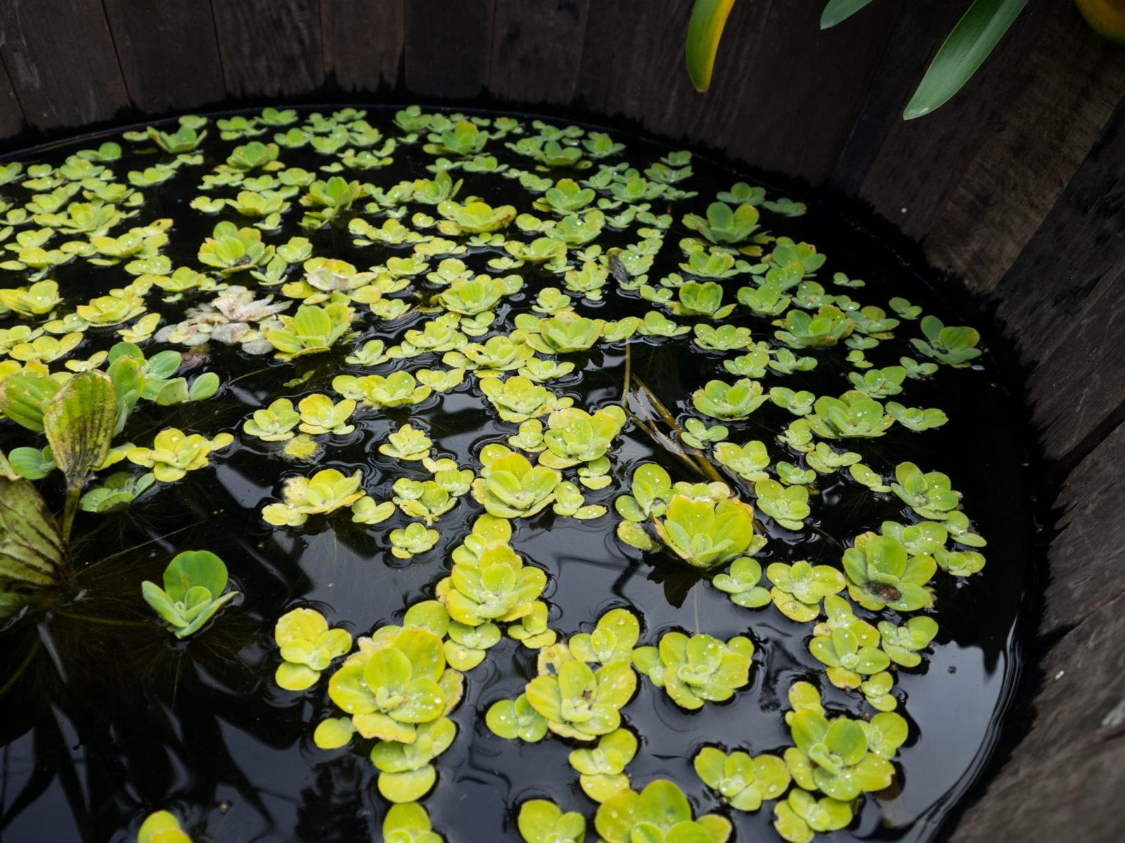 surface plants growing in a barrel pond