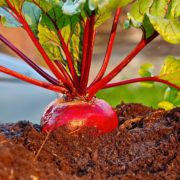fresh red beetroot unearthed from garden soil