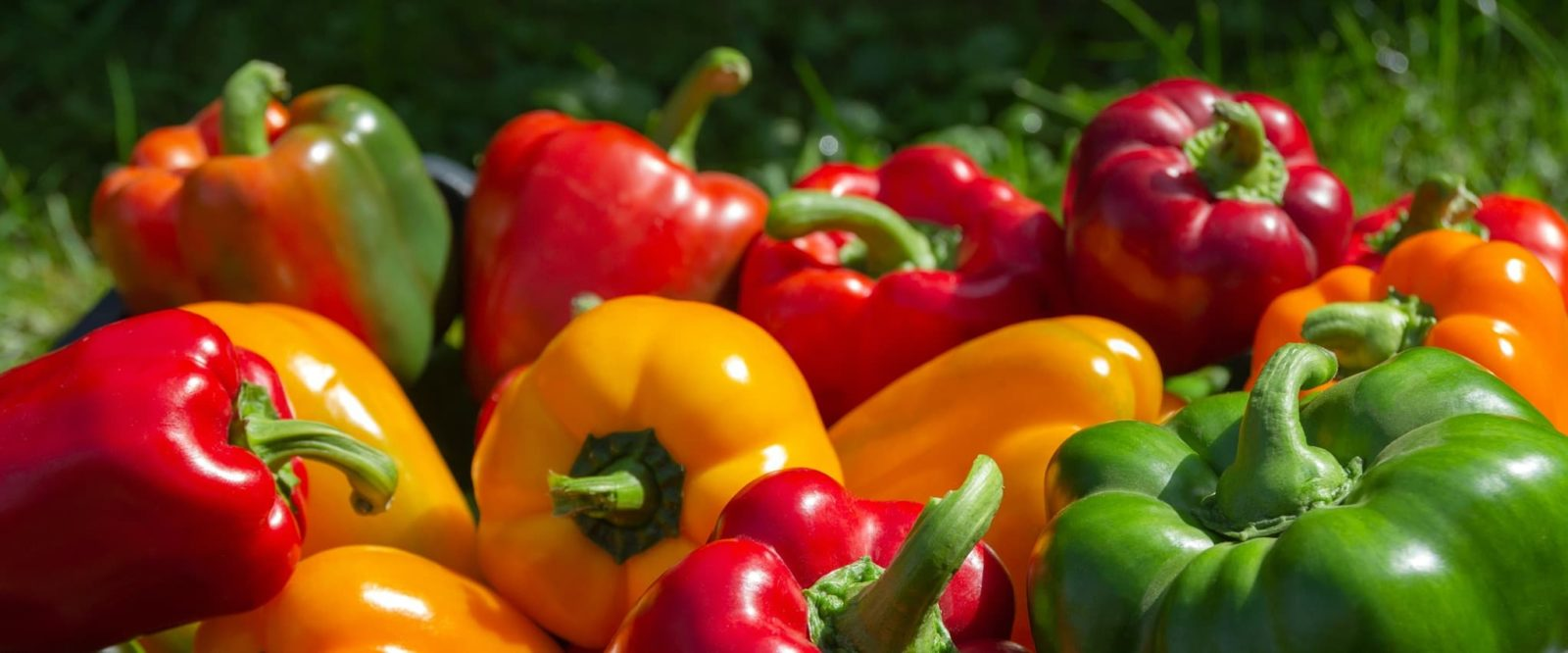 mix of harvested bell peppers in red, yellow and green