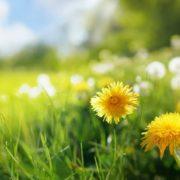 yellow dandelions in a field