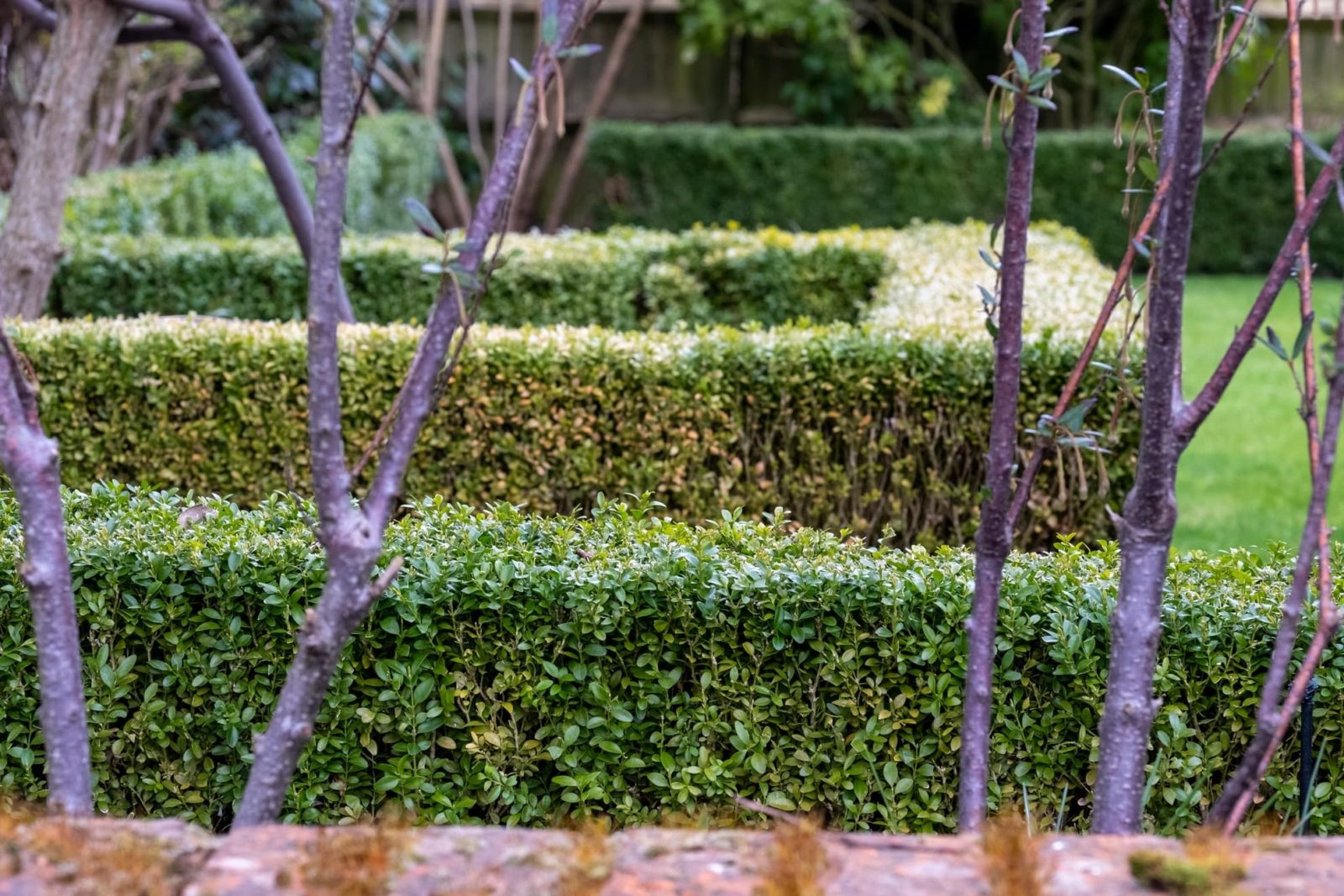 a partially infected box hedge with varying colouration