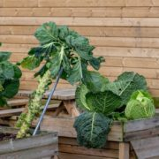 brussels sprouts and cabbage plants growing in wooden planters