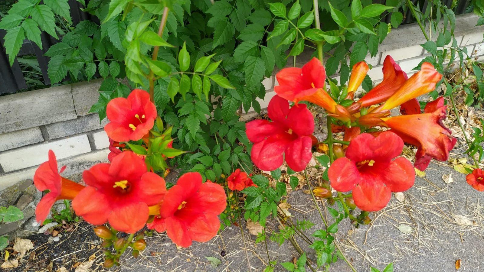 bright orange flowers of campsis vines