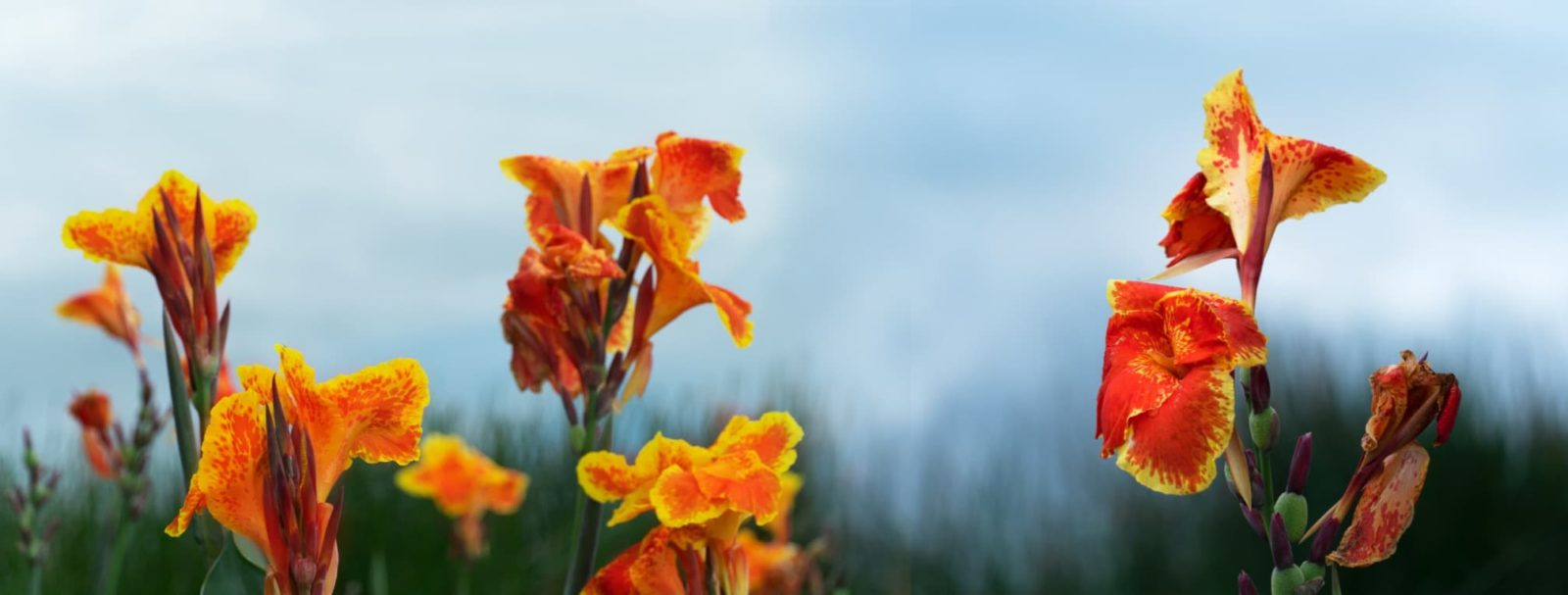 red and orange canna lilies with sky in background