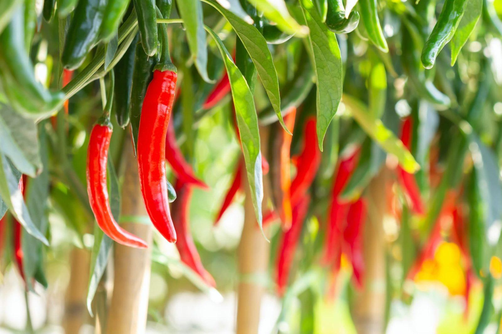 red chillies hanging amongst foliage