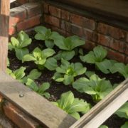 pak choi being grown in a cold frame