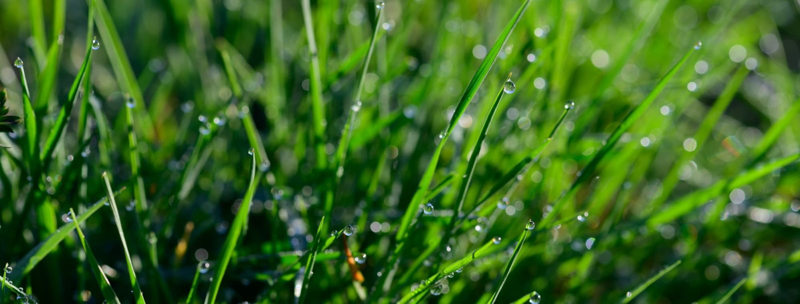 morning dew on lush green lawn