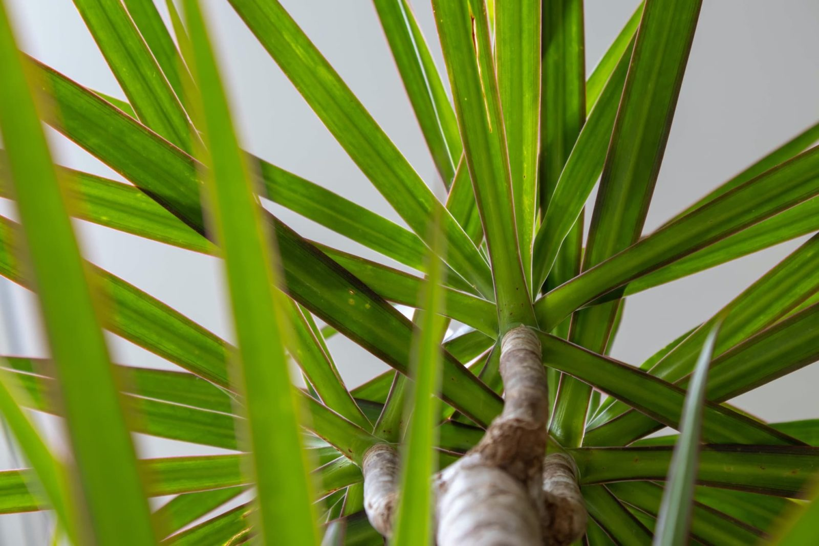 leaves and trunk of Dracaena marginata with white background