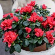 red azalea in a light grey pot
