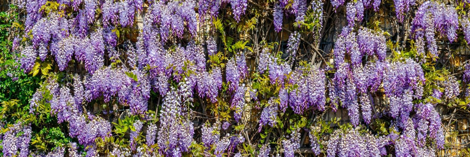 flowering purple Chinese wisteria
