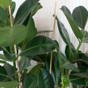 green ficus houseplant