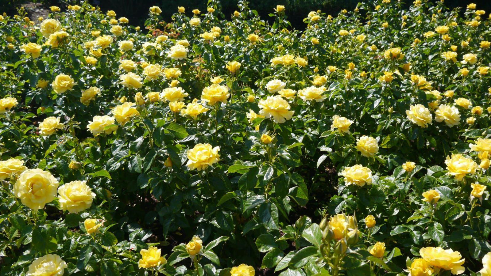 flowering yellow english rose bushes