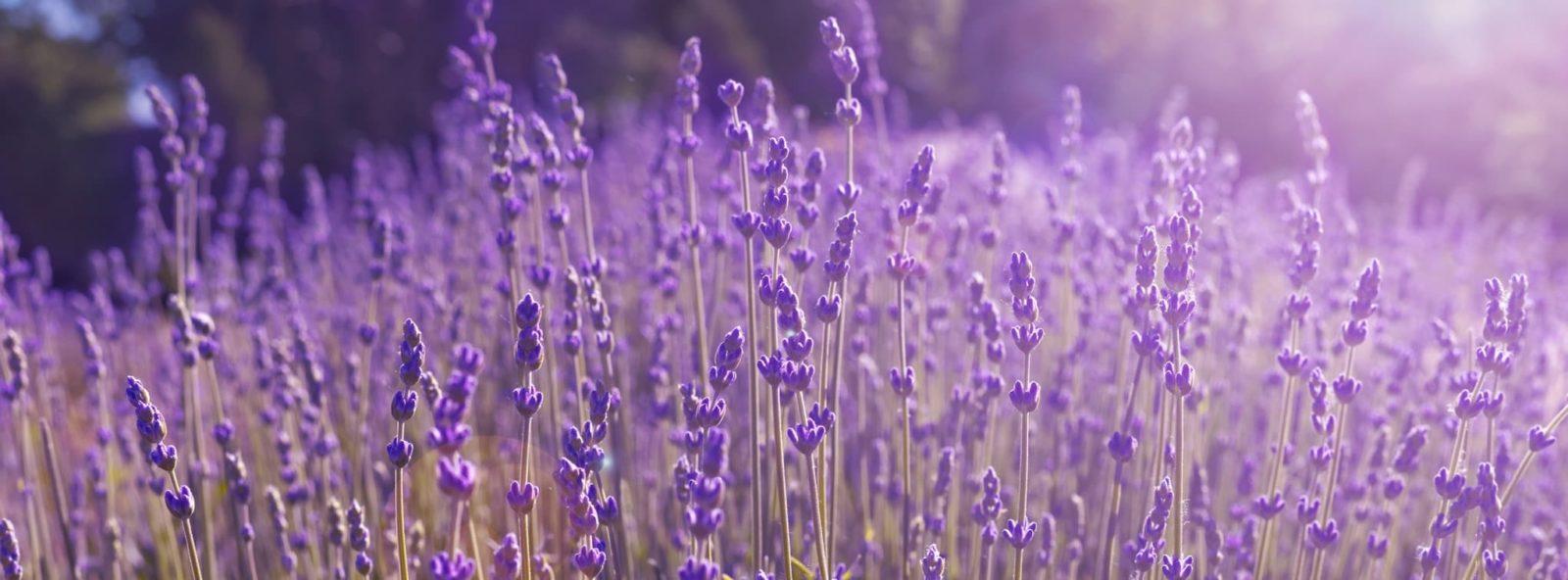 vibrant purple lavender in a field