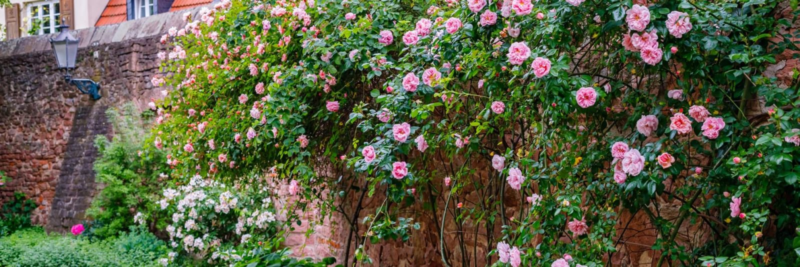 a garden wall covered in beautiful climbing roses