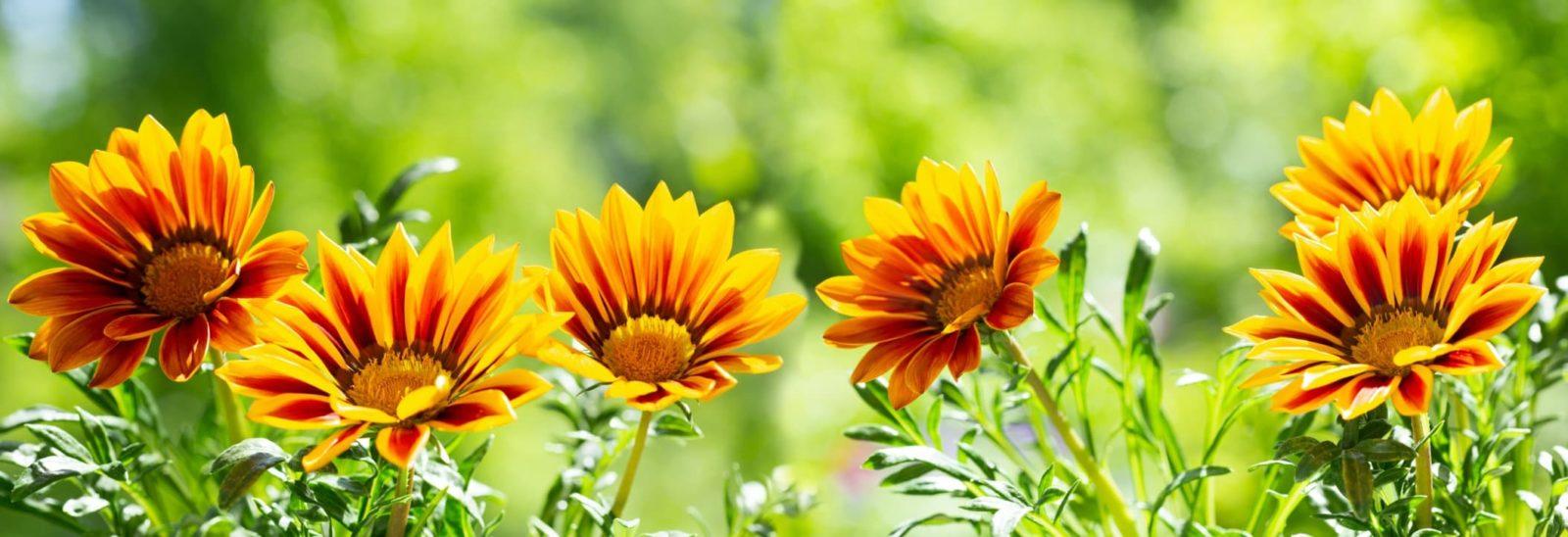 red and yellow gazania flowers