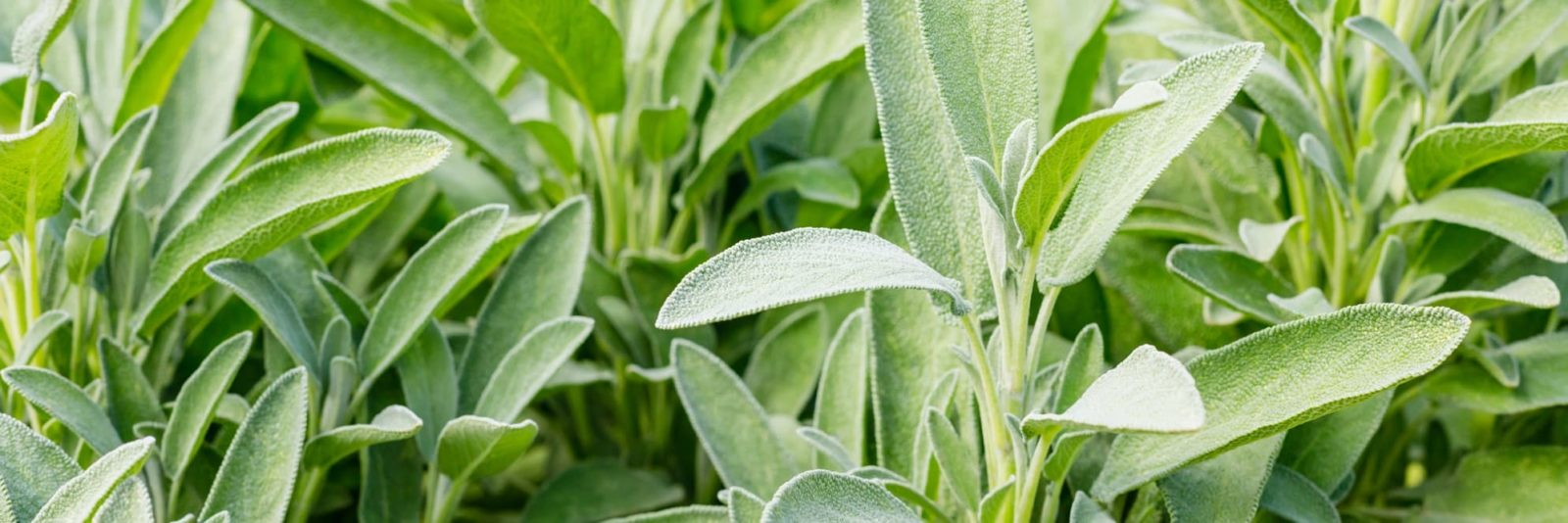 sage plants growing outdoors