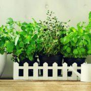 melissa, mint, thyme, basil, parsley in pots on an oak beam