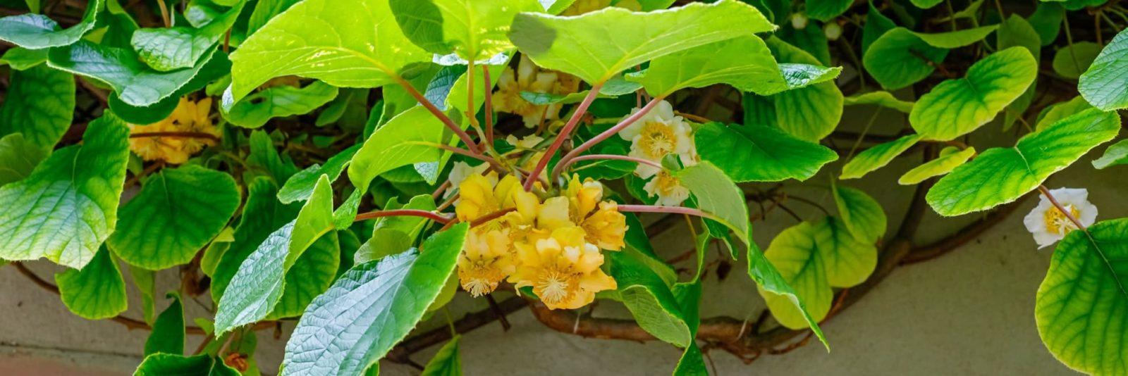 flowers of the kiwi plant