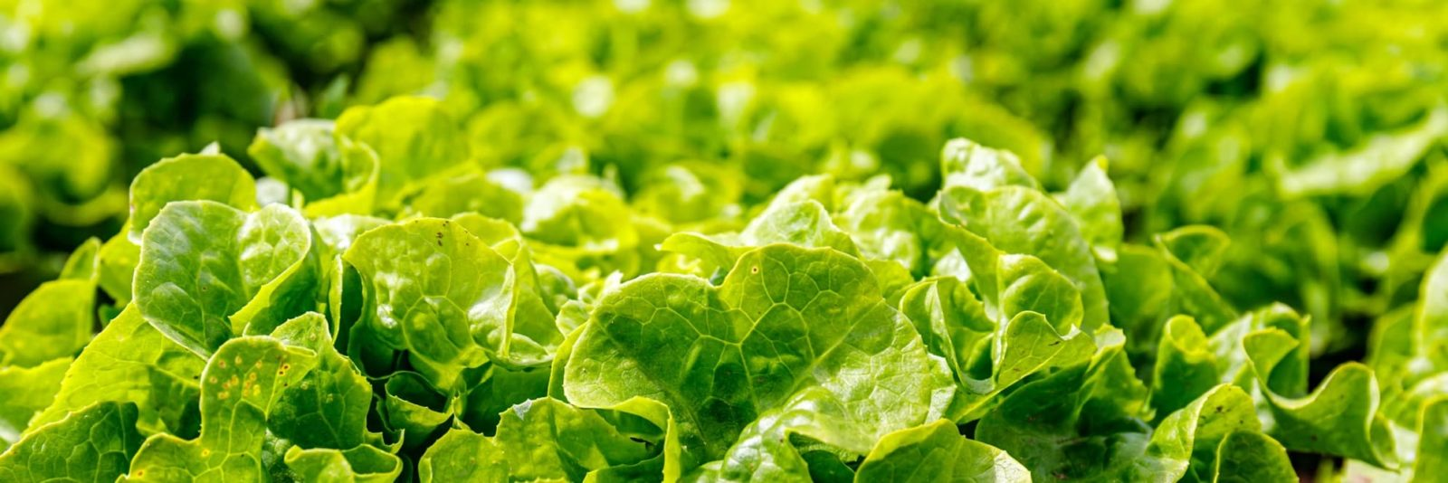 green textured lettuce leaves