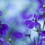 blue lobelia flowers