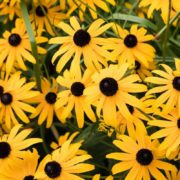 bunches of yellow black eyed susan flowers
