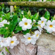 white mandevilla on a garden wall