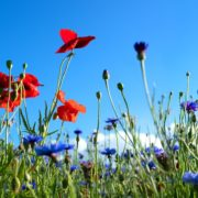 colourful wildflowers with a bright blue sky in the background