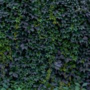 an overgrown wall of ivy
