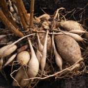 dahlia tubers in compost
