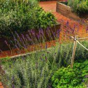 herbs growing in raised garden beds