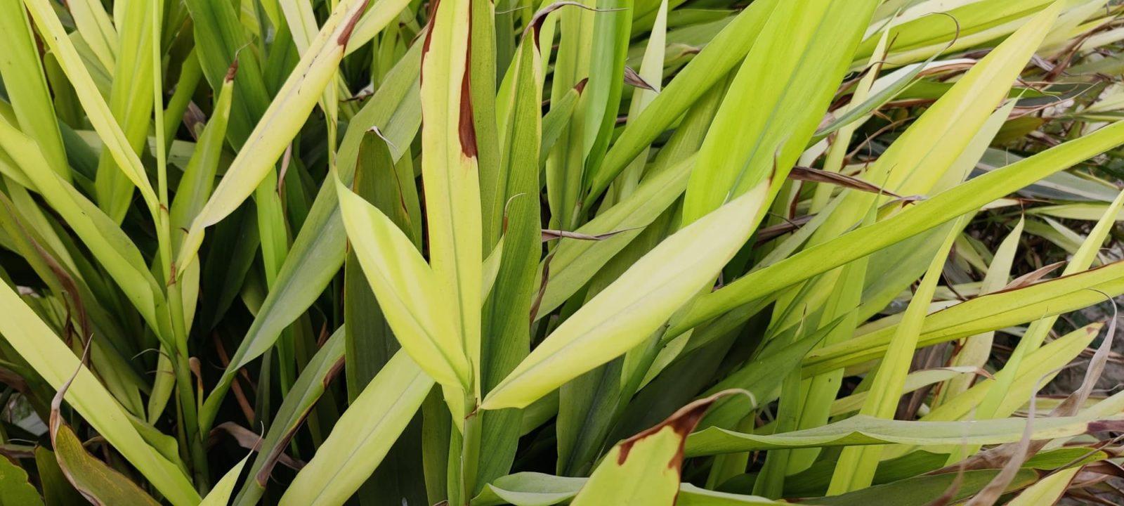 phormium new zealand flax up close
