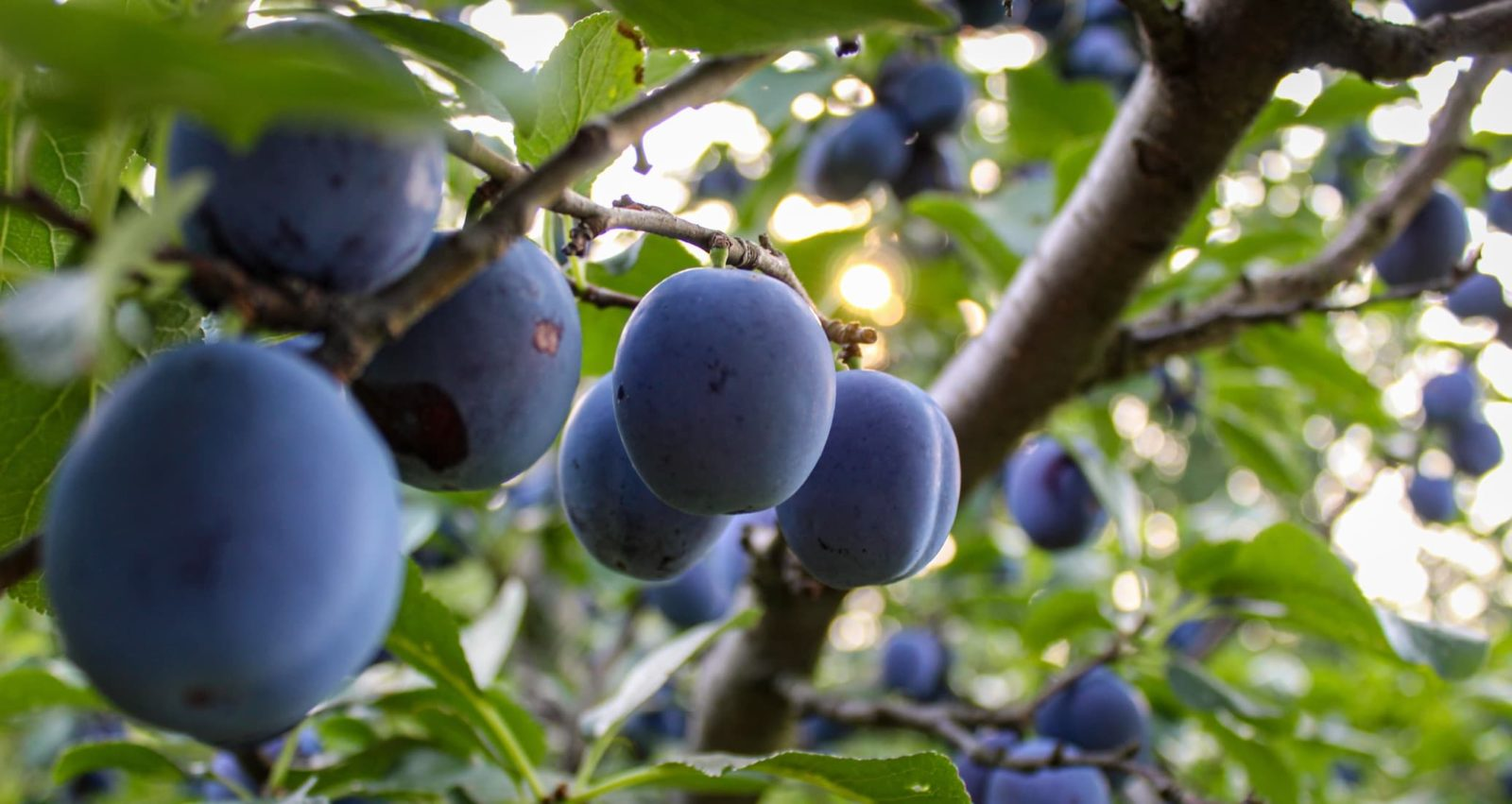 ripe plums fruits hanging from the branches of a tree