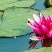 pink lotus on clear water