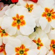 close up of primula flowers in pink, red, white, purple and yellow