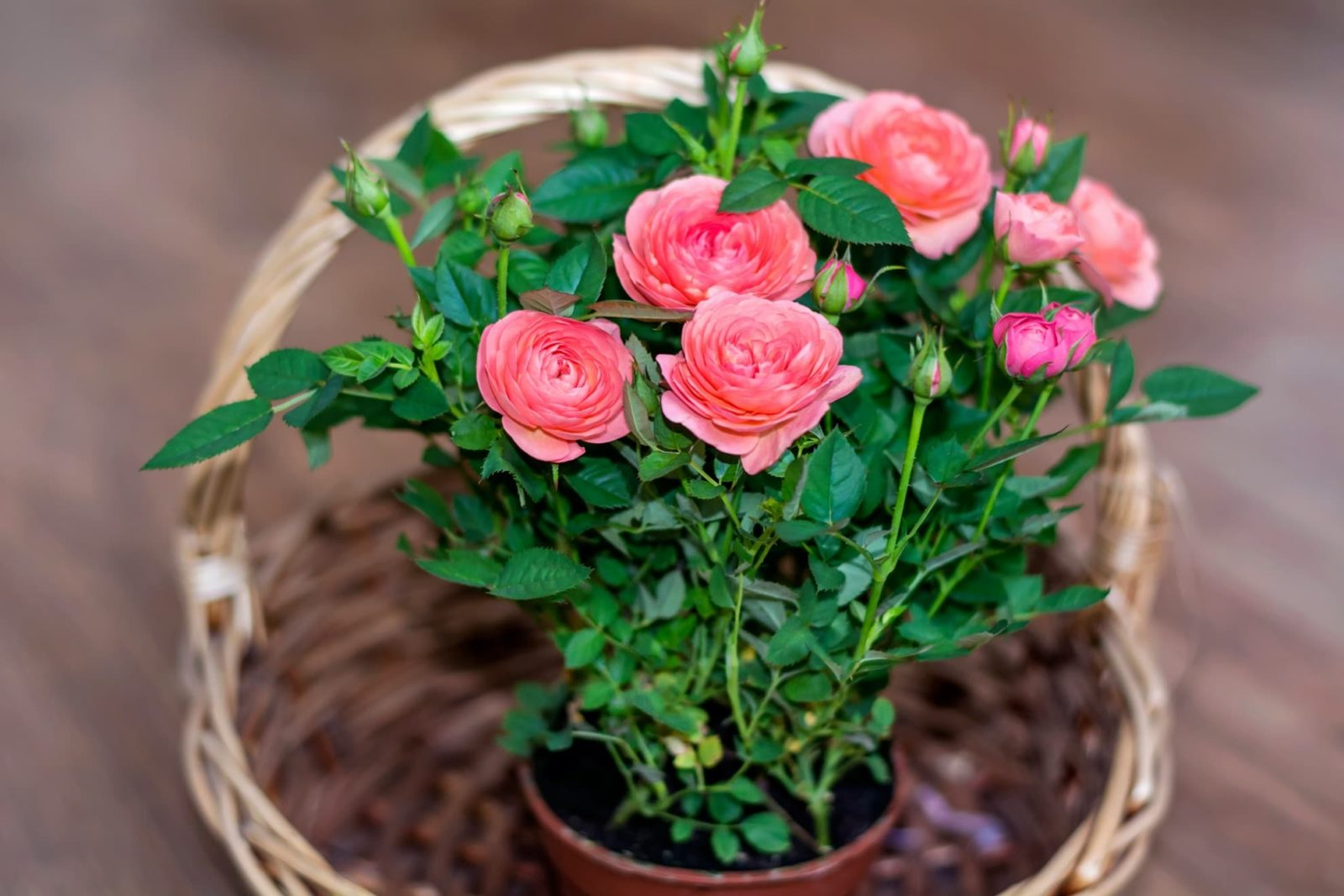 pink roses growing in a straw basket