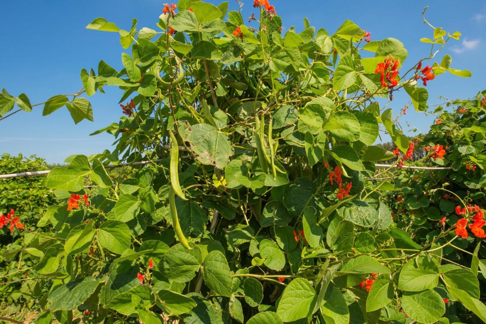 runner beans growing in an English field