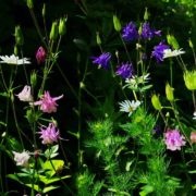 aquilegia and other wildflowers in a garden meadow