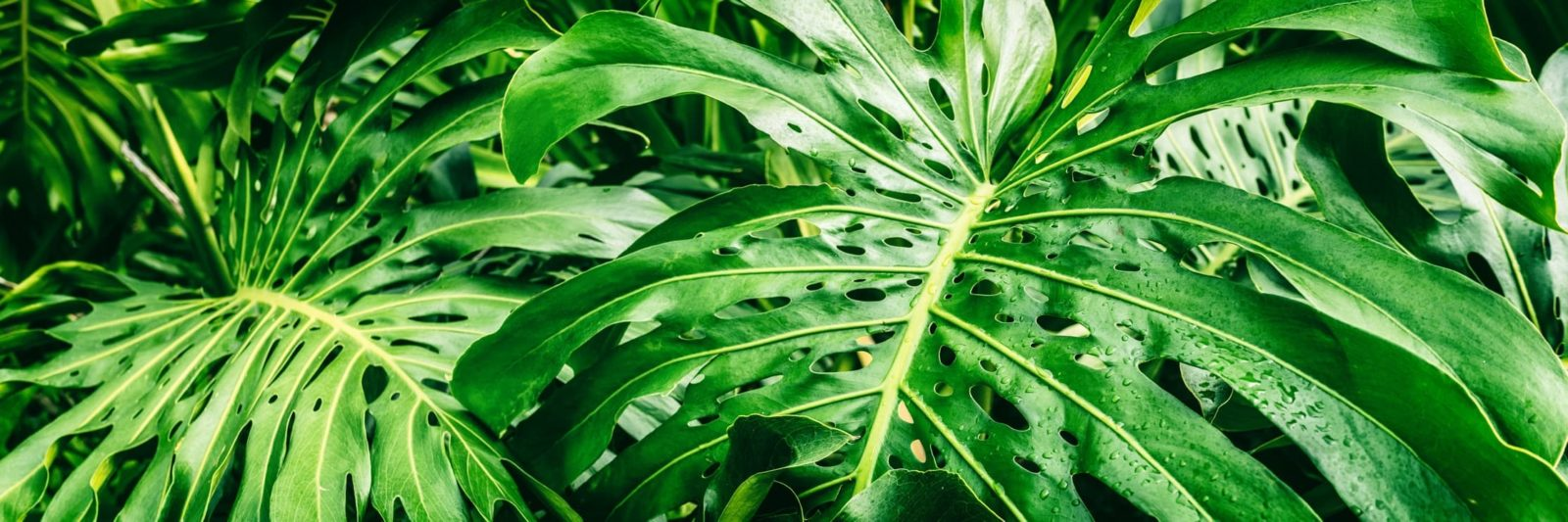 tropical green foliage of swiss cheese plant