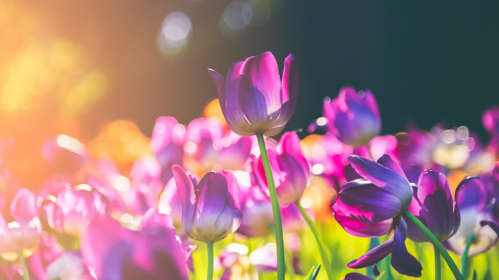 purple tulips in focus