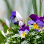 close up of a window box with purple, white and tellow coloured pansies