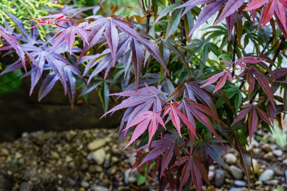 purple leaves of Acer palmatum Atropurpureum
