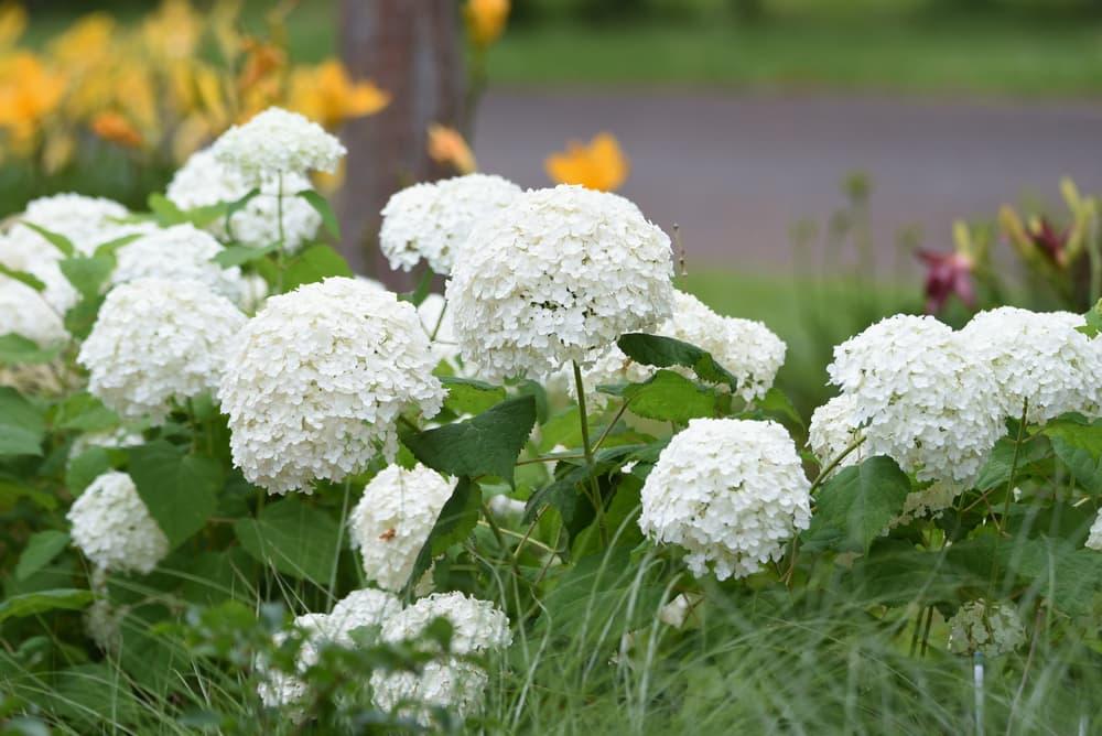 white flowering Annabelle hydrangea
