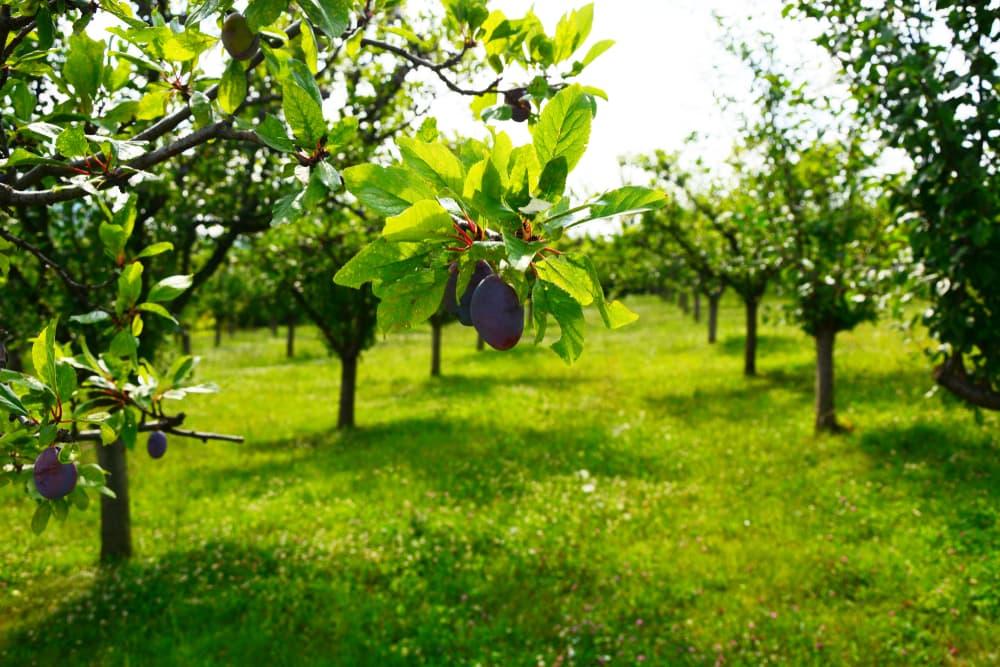 a plum tree orchard