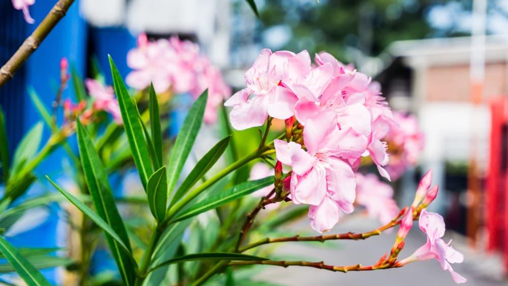 pink oleander blooms