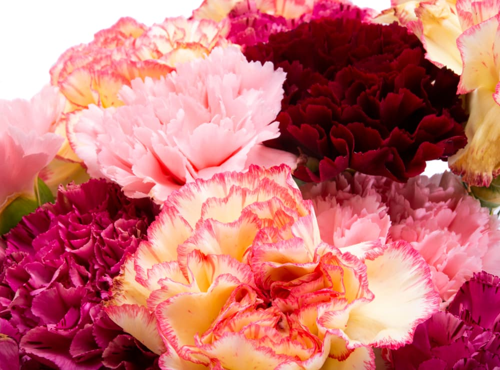beautiful bouquet mix of carnations on a white background