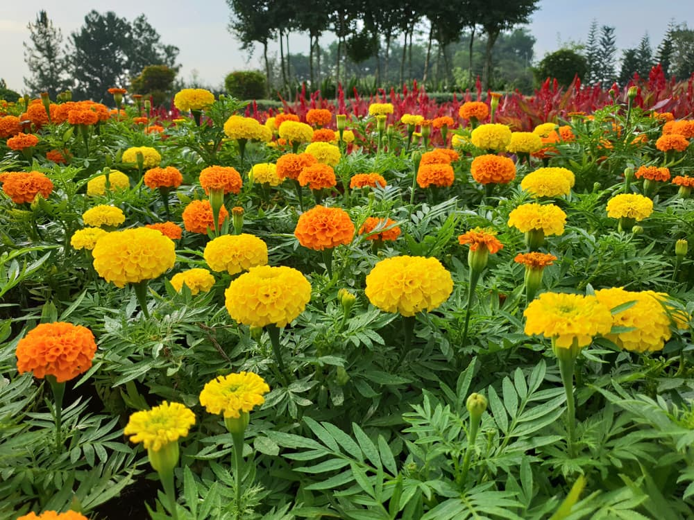 a sea of green foliage with yellow and orange marigold flowers