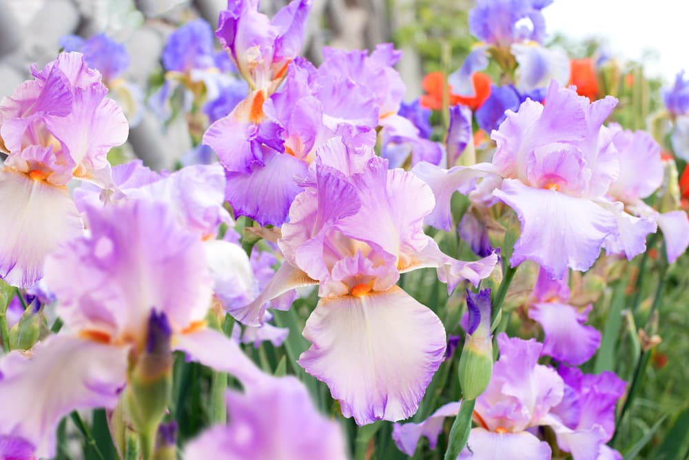 lilac coloured bearded irises