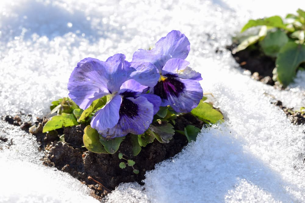 violet coloured pansies covered in snow